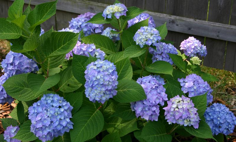 Image gallery hydrangea plants - Caring hydrangea garden ...